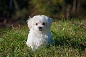 Vacina para cachorro